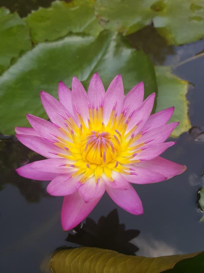 Ilustração do zen da flor dos lótus foto de stock