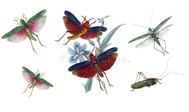 Ilustração dos gafanhotos e dos locustídeo, em um fundo branco ilustração stock