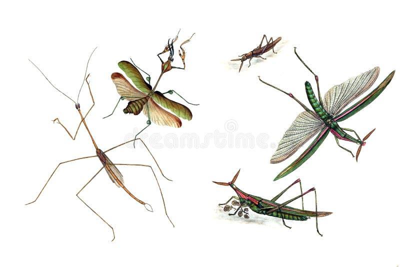 Ilustração dos gafanhotos e dos locustídeo, em um fundo branco ilustração royalty free