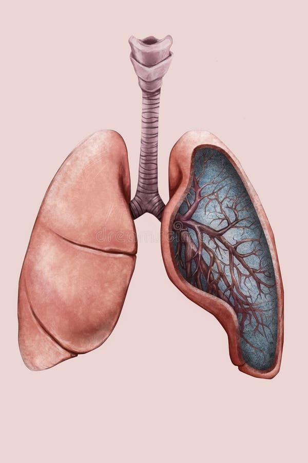 Ilustração dos pulmões com traqueia e brônquio ilustração stock