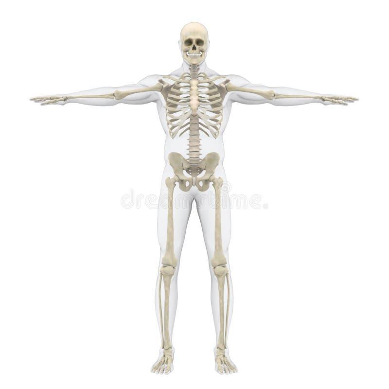 Ilustração esqueletal humana do sistema ilustração royalty free
