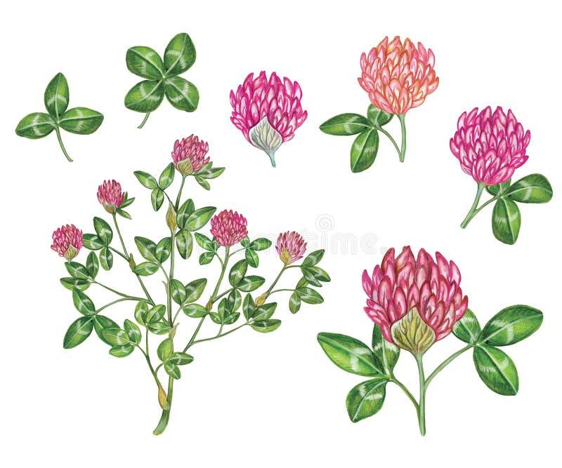 Ilustração feito à mão da aquarela realística botânica do pratense do trifolium do trevo vermelho imagens de stock royalty free