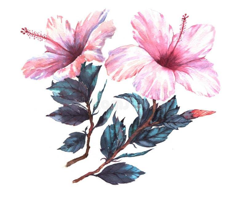 A ilustração floral da aquarela desenhado à mão do branco macio com hibiscus cor-de-rosa floresce ilustração royalty free