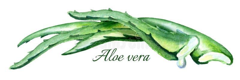 Ilustração horizontal de vera do aloés orgânico Composição tirada mão da aquarela ilustração do vetor