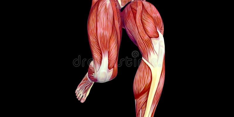 Ilustração humana da anatomia do corpo masculino com os músculos da coxa e as articulações do joelho visíveis ilustração stock