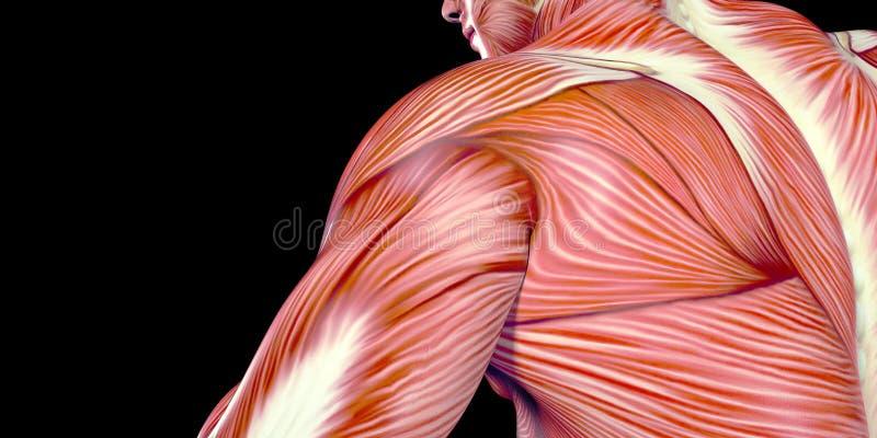 Ilustração humana da anatomia do corpo masculino de movimentar-se humano com músculos visíveis imagens de stock royalty free