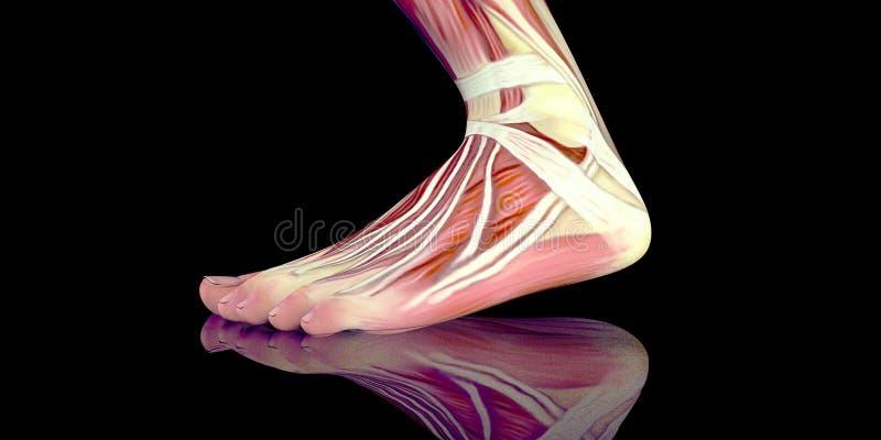 Ilustração humana da anatomia do corpo masculino de um pé humano com músculos visíveis imagens de stock