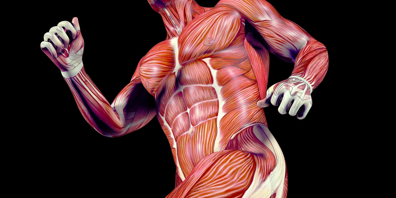 Ilustração humana da anatomia do corpo masculino de um ser humano com músculos visíveis ilustração stock