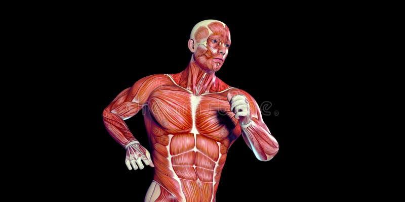 Ilustração humana da anatomia do corpo masculino de um torso humano com músculos visíveis ilustração stock