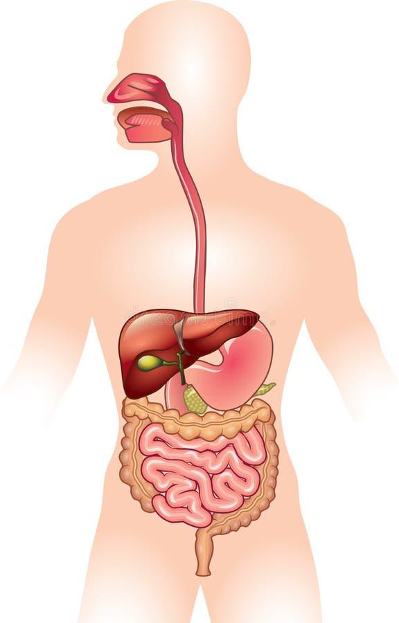Ilustração humana do sistema digestivo ilustração stock