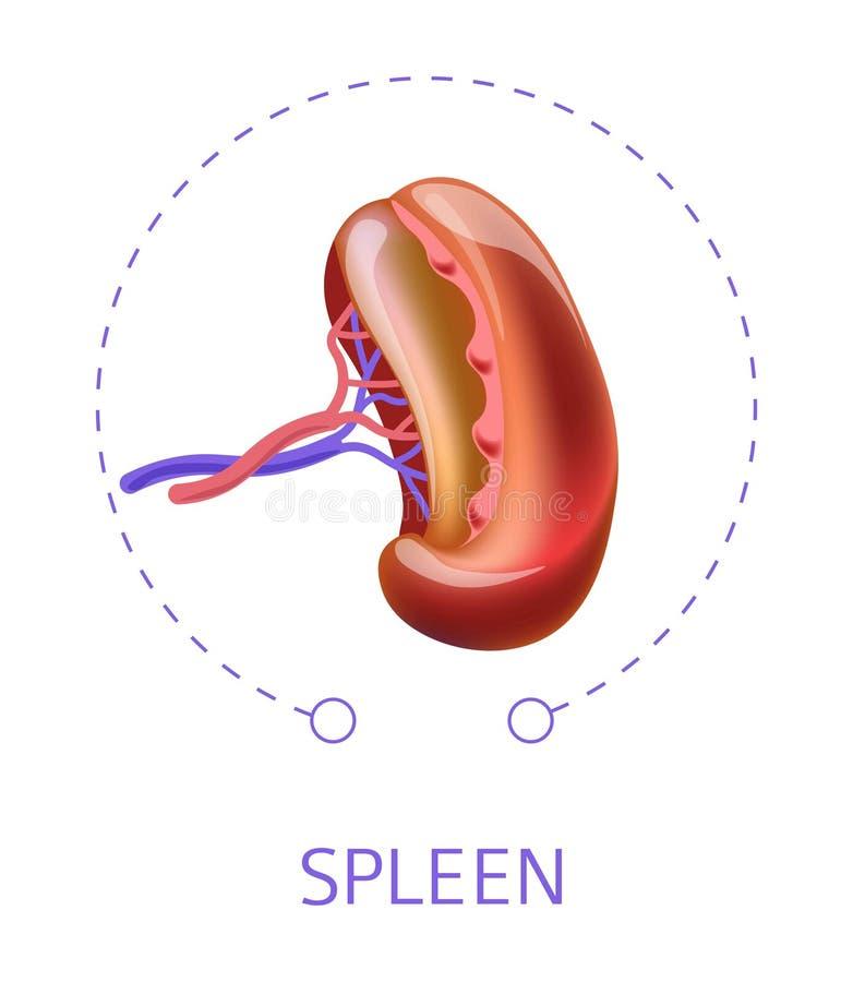 Ilustração interna do vectpor do órgão do corpo humano do baço ilustração stock