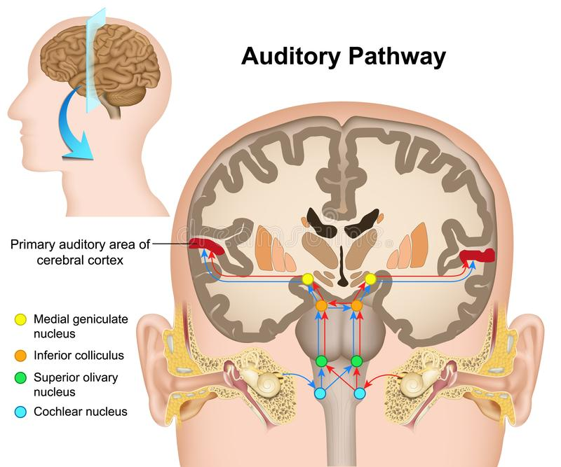 A ilustração médica do caminho auditivo no fundo branco ilustração royalty free