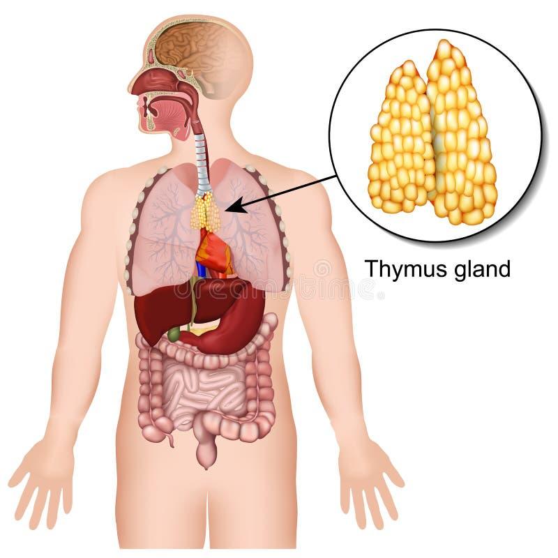Ilustração médica do sistema de glândula endócrina 3d da glândula de Thymus no fundo branco ilustração do vetor