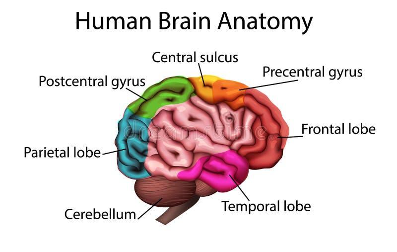 Ilustração medicamente exata do cérebro, vetor da estrutura anatômica ilustração stock