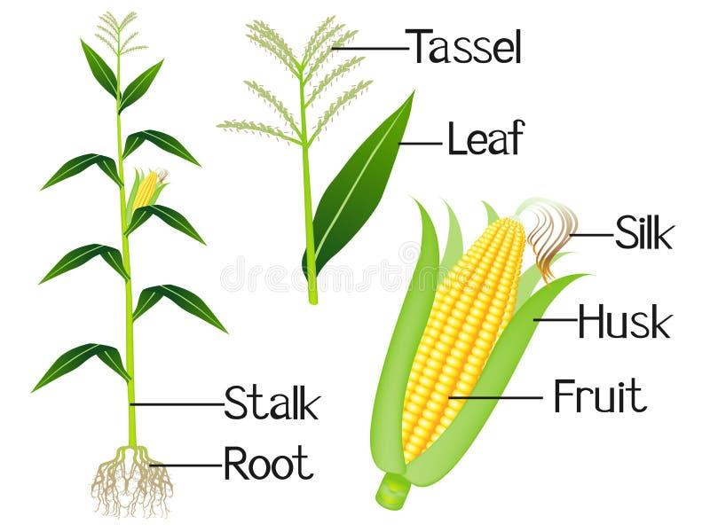 A ilustração mostra a parte das plantas de milho ilustração stock