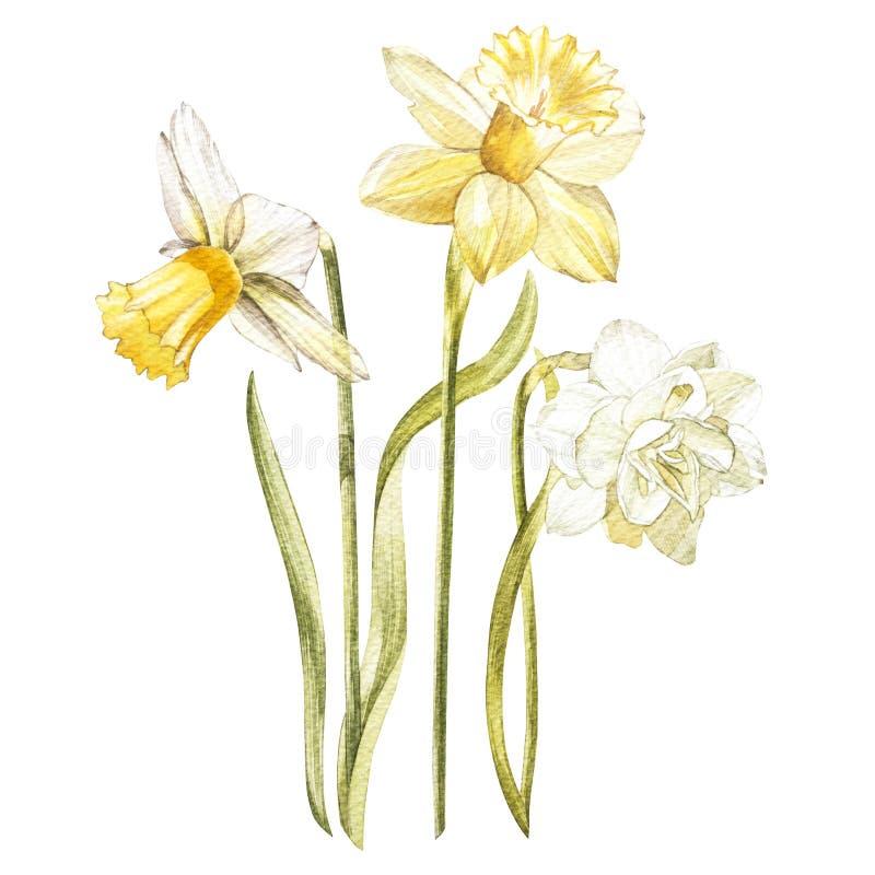 A ilustração na aquarela de um narciso floresce a flor Cartão floral com flores Ilustração botânica ilustração royalty free