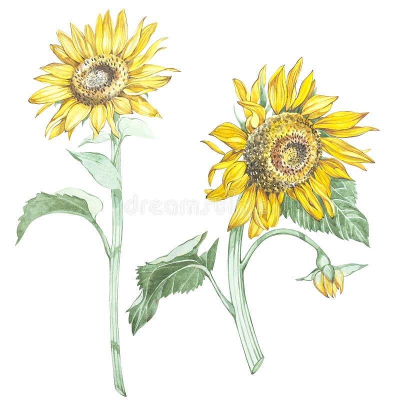 Ilustração na aquarela do girassóis Cartão floral com flores Ilustração botânica ilustração stock