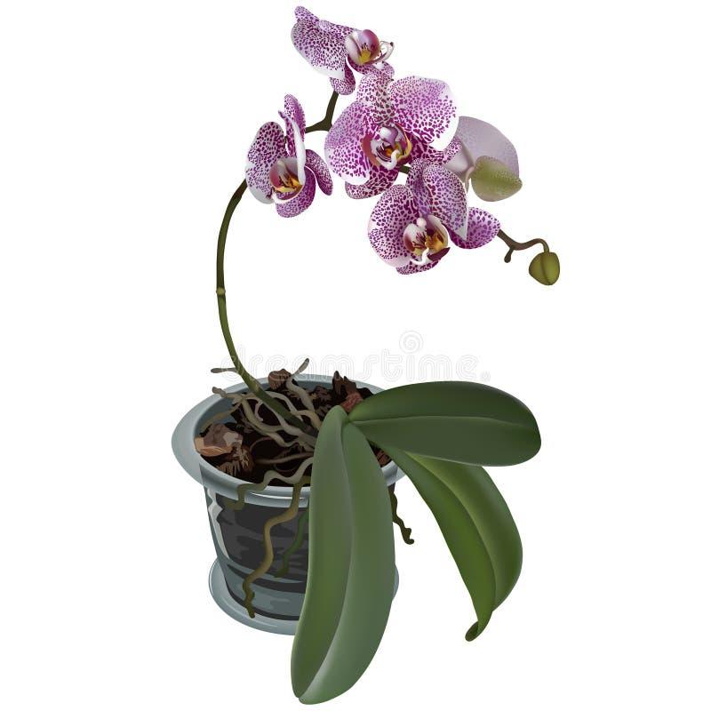 Ilustração Photorealistic do phalaenopsis no potenciômetro de flor ilustração do vetor