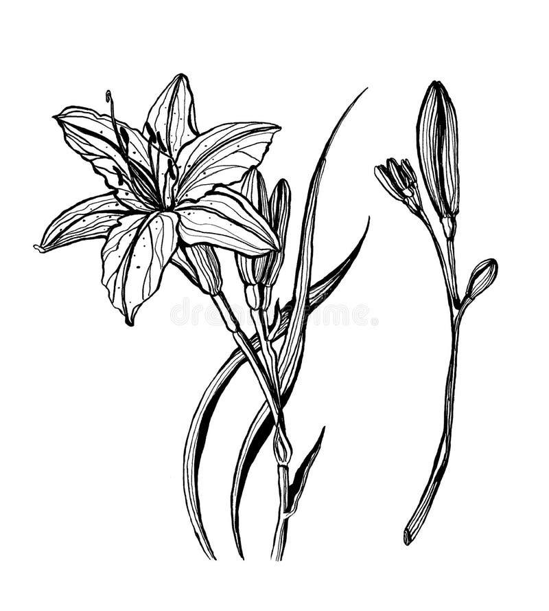 Ilustração pintado à mão da tinta do lírio ilustração do vetor