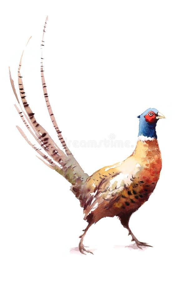 Ilustração pintado à mão do pássaro da aquarela do faisão isolada no fundo branco ilustração stock