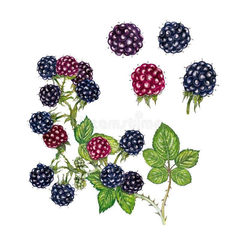 Ilustração realística da aquarela do fruticosus do rubus da amora-preta imagem de stock royalty free