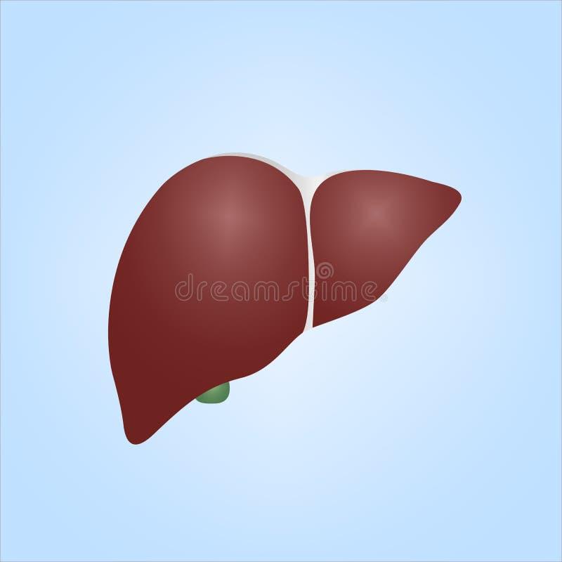 Ilustração realística do fígado humano ilustração stock