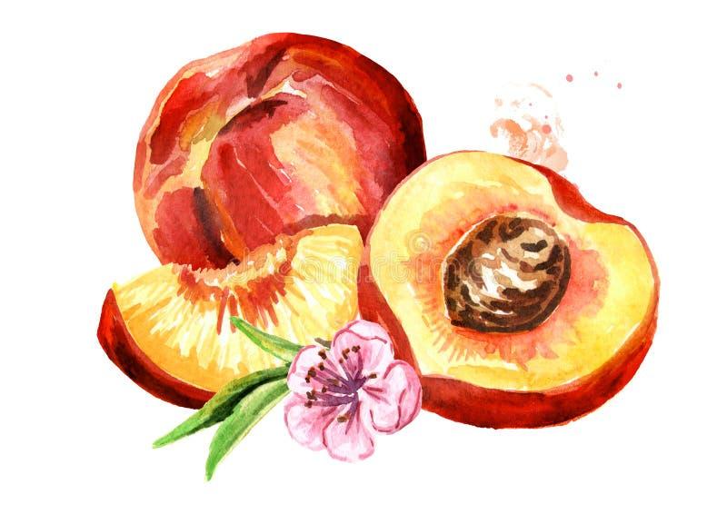 Ilustração tirada da aquarela dos pêssegos mão madura, isolada no fundo branco ilustração do vetor