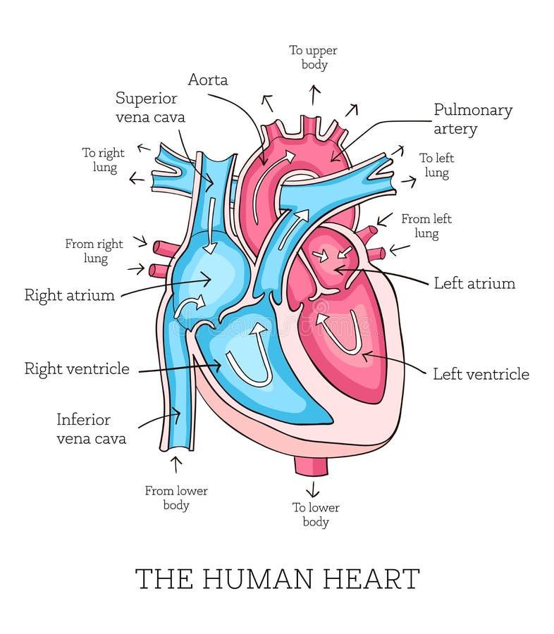 Ilustração tirada mão da anatomia humana do coração Diâmetro educacional ilustração royalty free