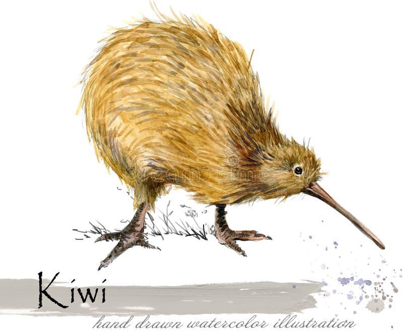 Ilustração tirada mão da aquarela do pássaro do quivi ilustração royalty free
