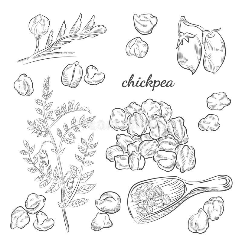 Ilustração tirada mão da planta de grão-de-bico ilustração stock