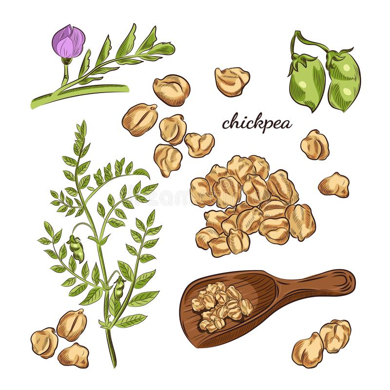 Ilustração tirada mão da planta de grão-de-bico Ervilhas, vagens e esboços de florescência ilustração do vetor
