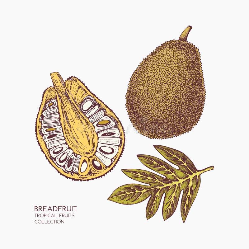 Ilustração tirada mão das frutas-pão Esboço botânico gravado Projeto do fruto do jaque do vintage Desenho da planta tropical ilustração royalty free