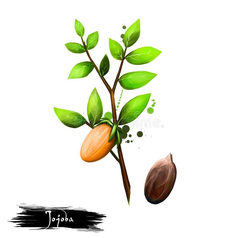 Ilustração tirada mão de chinensis do Jojoba ou do Simmondsia isolada no fundo branco Alimento saud?vel org?nico Arte de Digitas  ilustração stock
