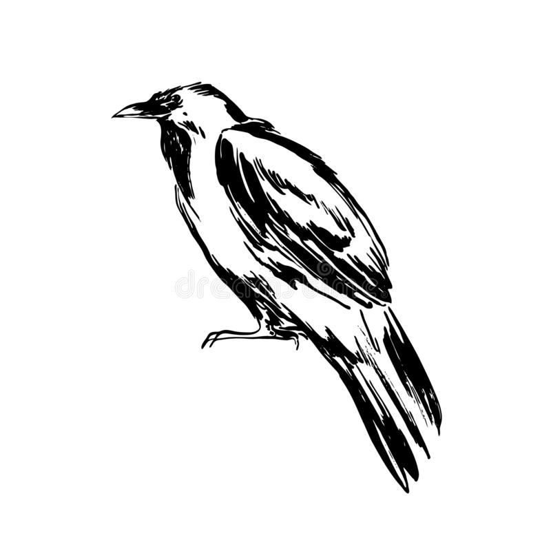 Ilustração tirada mão do esboço do corvo Desenho de tinta preta do vetor isolado no fundo branco Estilo do Grunge ilustração do vetor