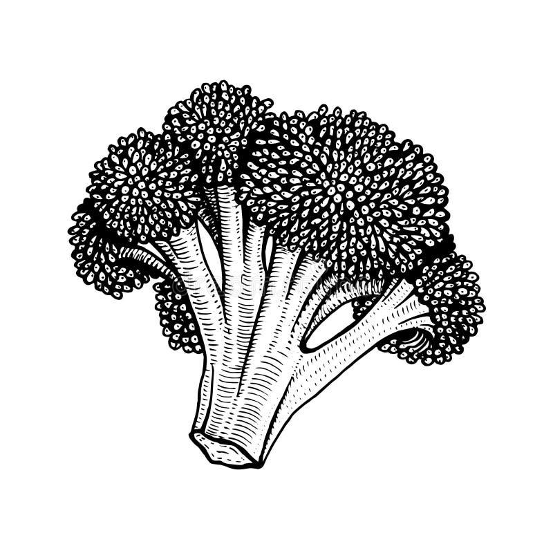 Ilustração tirada mão do vetor da couve-flor ilustração do vetor