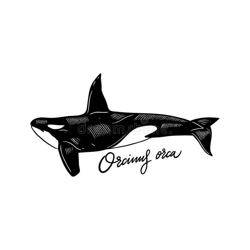 Ilustra??o tirada m?o do vetor da orca Estilo da gravura Isolado no fundo branco ilustração stock