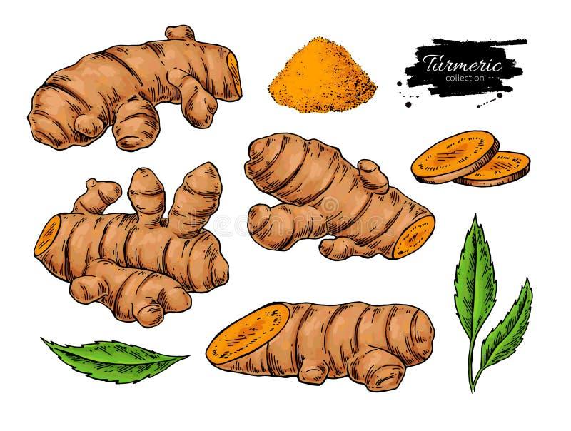 Ilustração tirada mão do vetor da raiz de cúrcuma Curcuma, pó, ilustração do vetor