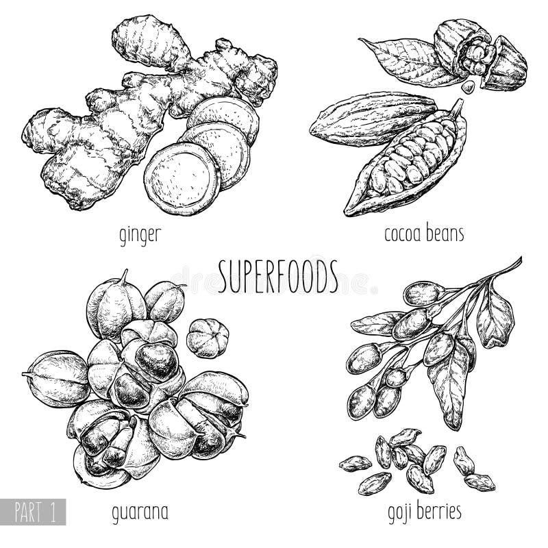 Ilustração tirada mão do vetor de Superfood Gengibre, bagas do goji, guarana, feijões de cacau no fundo branco Alimento saudável  ilustração stock