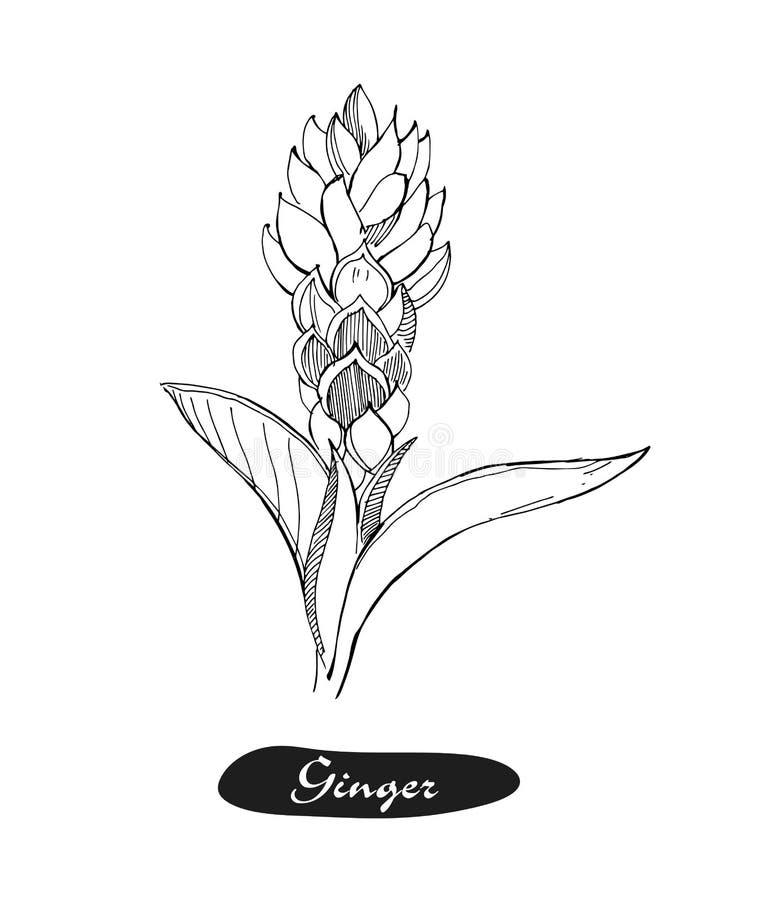 Ilustração tirada mão do vetor do gengibre Esboço retro detalhado do estilo Especiaria erval da cozinha e ingrediente de alimento ilustração royalty free