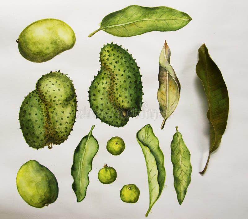 Ilustração verde da aquarela dos frutos tropicais e das folhas no fundo branco ilustração stock