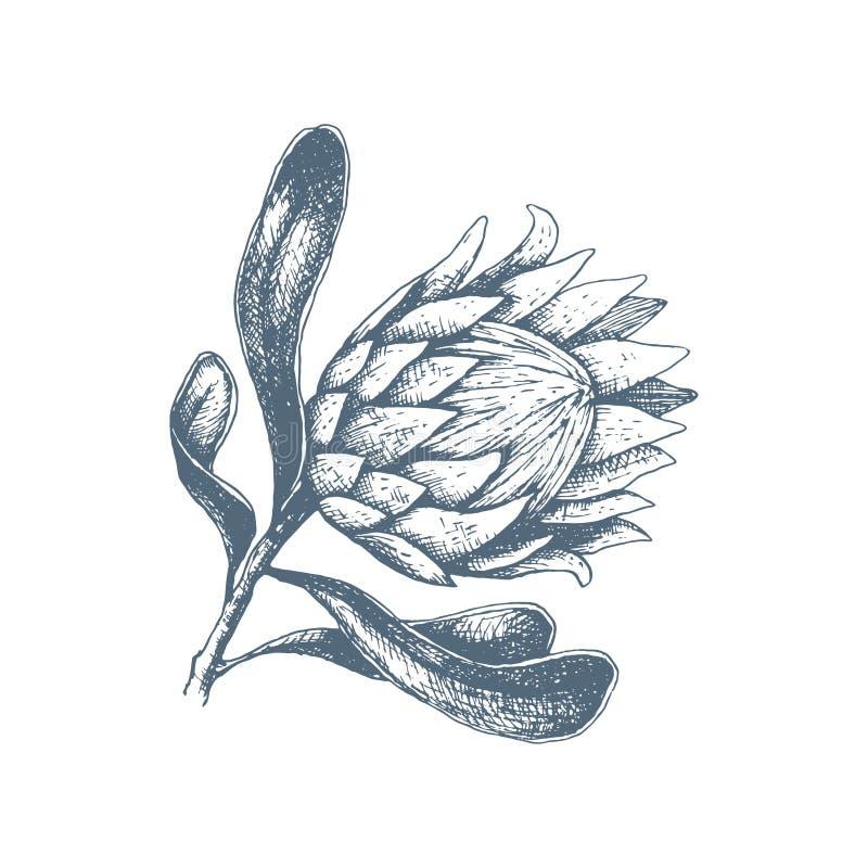 Ilustração vetorial da flor da proteína desenhada à mão Uma grande flor de bud aberta africana para decoração de convites, cartõe ilustração do vetor