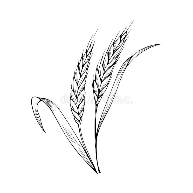 Ilustração vetorial do livro corante do espigão de trigo ilustração stock