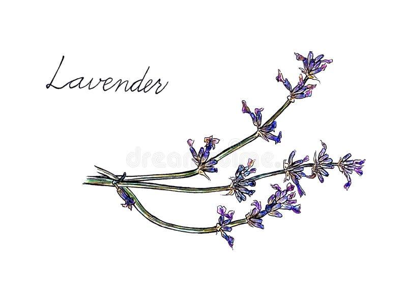Ilustração violeta da alfazema no branco fotografia de stock royalty free