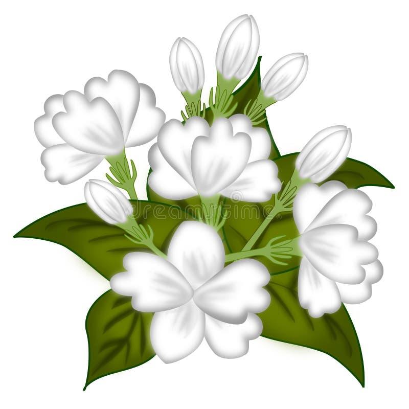 Ilustrações da flor do jasmim ilustração royalty free