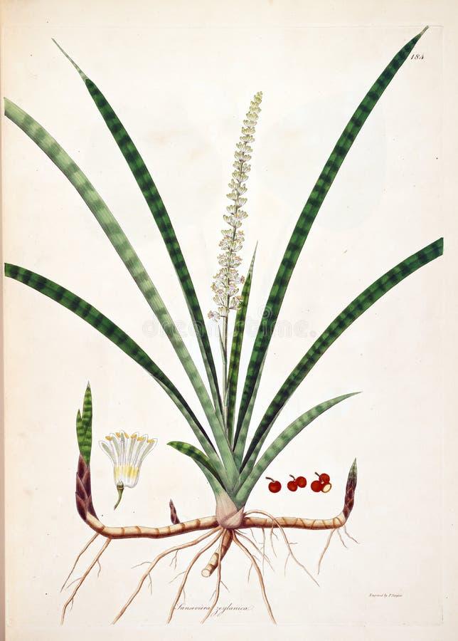 Ilustrações da planta ilustração do vetor