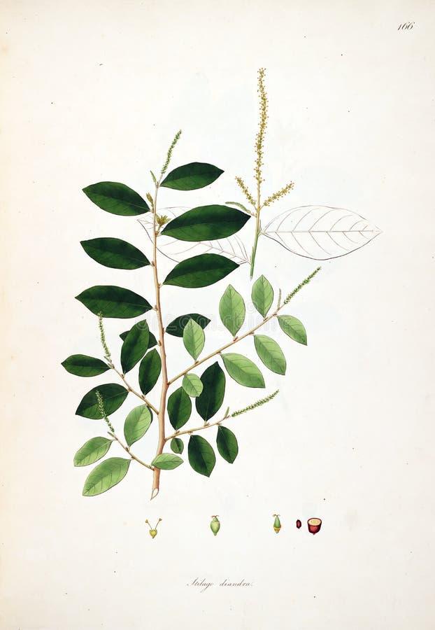 Ilustrações da planta ilustração royalty free