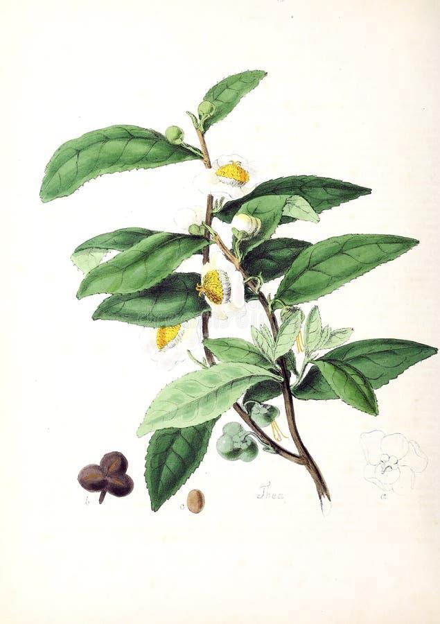 Ilustrações da planta fotografia de stock