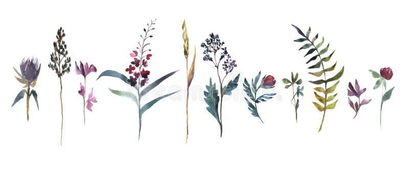 Ilustra??o da aguarela Coleção de flores do campo Grupo da aquarela das ervas ilustração stock
