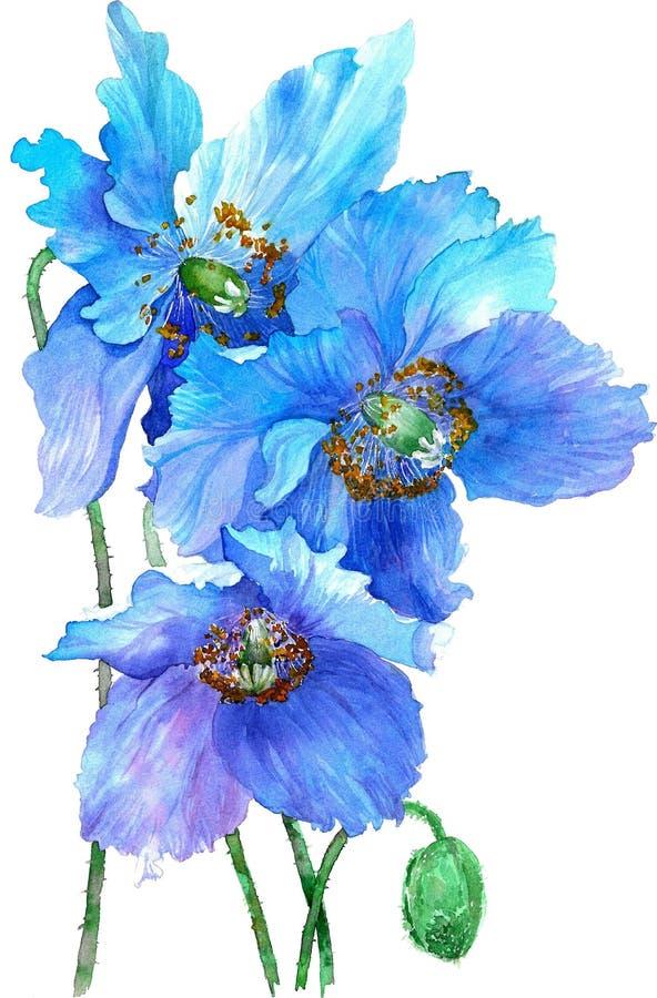Ilustra??o da aquarela das papoilas de azuis isoladas no fundo branco ilustração do vetor