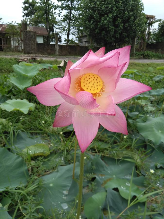 Ilustra??o do zen da flor dos l?tus foto de stock royalty free